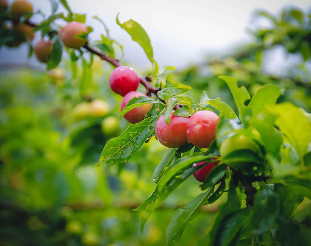 Du lịch Mộc Châu tháng 6 - Gói trọn hương sắc cây trái mùa hạ